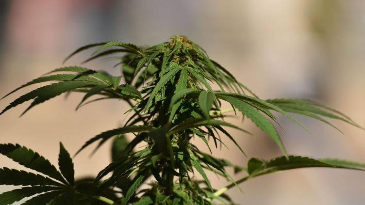Un collectif appelle à la légalisation du cannabis