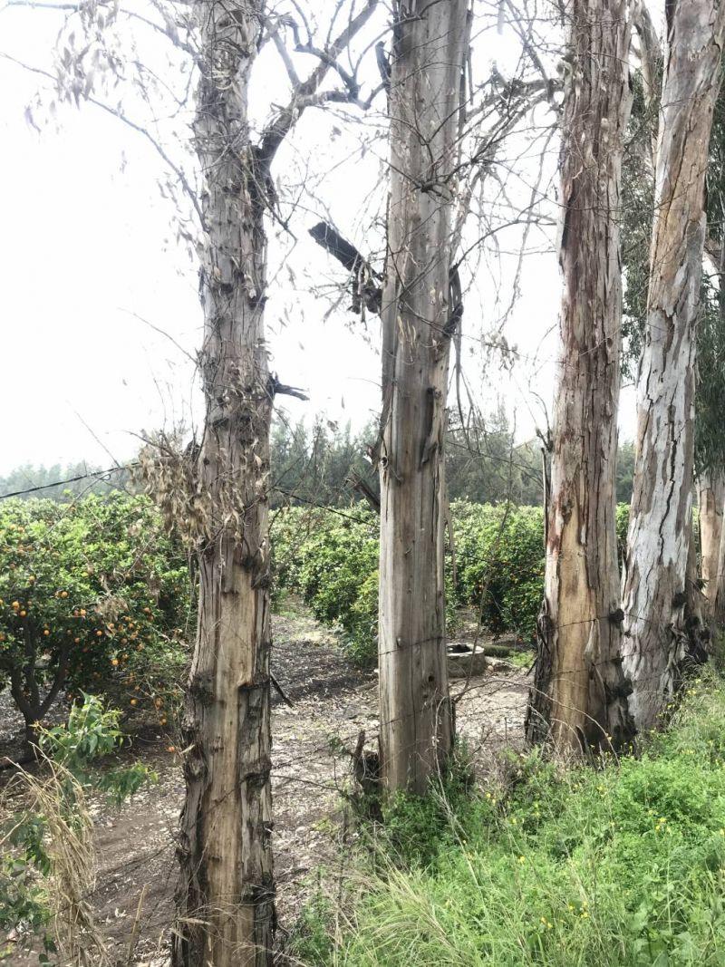 Au Akkar, des eucalyptus sauvés grâce à la mobilisation des habitants et des écolos