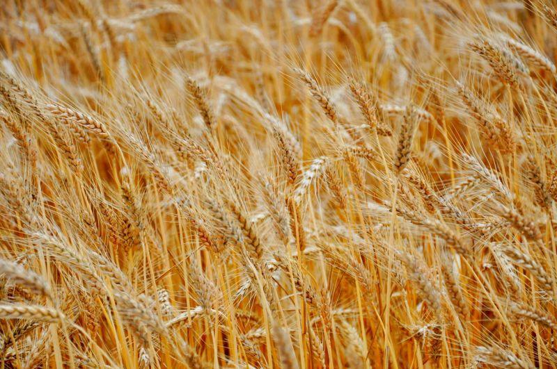 Une décision autorisant une société à exporter du blé local crée la polémique