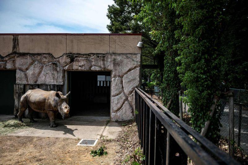 Emma, femelle rhinocéros, prend ses quartiers en attendant son mariage arrangé