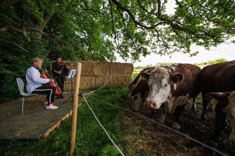Au Danemark, concertos de chambre pour... vaches !